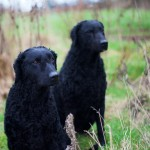 Working Dogs - Curly Coated Retreiver