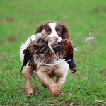 Working Dogs - Springer Spaniel Retrieving A Pheasant